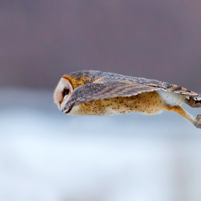 Barn Owl by Herb Houghton - Animals Birds ( herbhoughton.com )