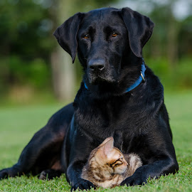 Giving safety and comfort. by Rob Ebersole - Animals - Dogs Portraits ( labrador retriever, lab )