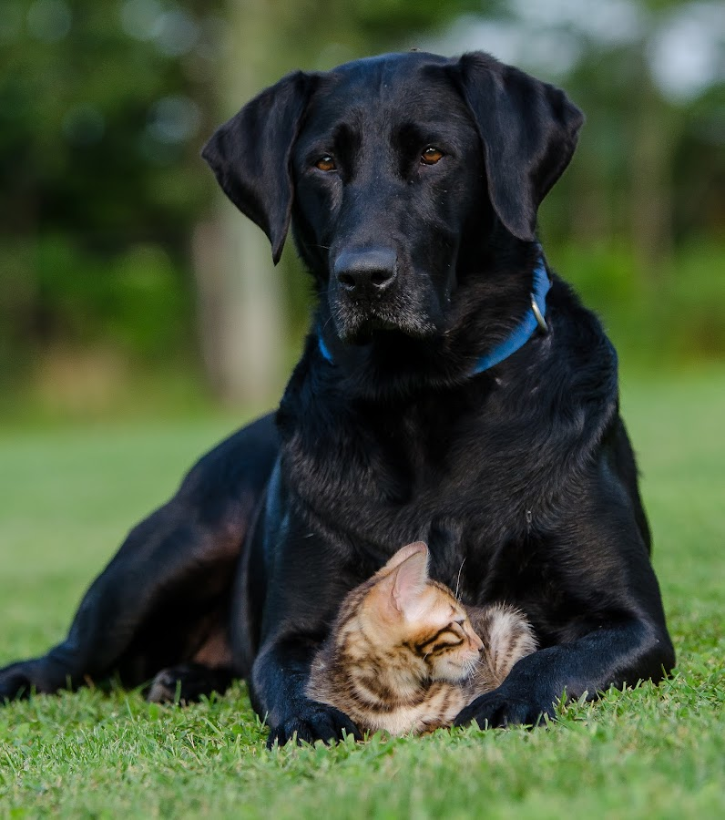 Giving safety and comfort. by Rob Ebersole - Animals - Dogs Portraits ( labrador retriever, lab,  )