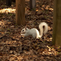 Leucistic eastern gray squirrel