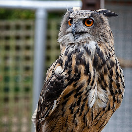 European Eagle Owl by Graham Markham - Animals Birds ( bracketed, eagle, itchenor, hdr, owls )