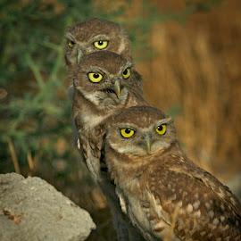 Juvenile Burrowing Owl Triplets See No Evil Hear No Evil Speak No Evil by Leslie Reagan - Animals Birds ( juvenile owls, nature, burrowing owls, birds, owls, raptors,  )