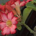 Adhenium Flowers.