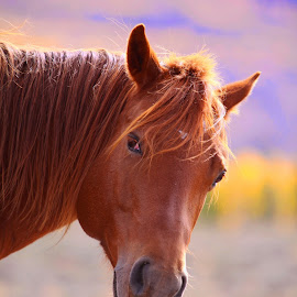 Wild Mustang Mare by Kate Purdy - Animals Horses ( wild, red, wild mustang, horse, sunlight, animal,  )