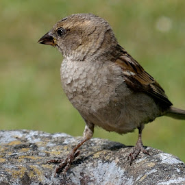 SPARROW by Ken Harkett - Novices Only Wildlife (  )