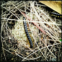 Cyanide Millipede / Yellow-spotted millipede
