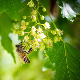 honey by Rebecca Koch - Nature Up Close Trees & Bushes ( macro, life, tree, bee, insect,  )