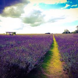 Mayfield Lavender Farm by Sara Wilkinson - Landscapes Prairies, Meadows & Fields
