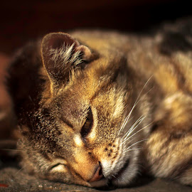 Relaxing by Sondre Gunleiksrud - Animals - Cats Portraits ( cat, italian, relaxed, relaxing, shade, italy, bokeh, sun )