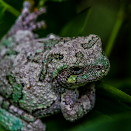 Tree Frog by Nancy Merolle - Animals Reptiles ( critter, frog, tree frog, reptile, animal )