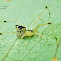 A Jewel spider