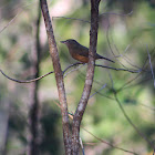 Bower's Strike-Thrush