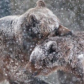Bear Hugs by Jackie Stoner - Animals Other ( grizzly & wolf discover center, yellowstone, wrestling, bears, snow, white, brown )