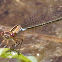 Plains Forktail  (females)