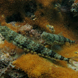 Lizardfish Wedding by DJ Cockburn - Animals Fish ( indian ocean, coral, variegated lizardfish, reef, fish, redband lizardfish, reef lizardfish, tanzania, zanzibar, sand diver, red lizardfish, synodus variegatus, pointhead lizardfish )