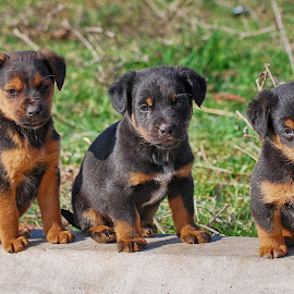 Three puppies by Ivan Marjanovic - Animals - Dogs Puppies ( horizontal, paw, several, puppy, cute, dog, together, animal )