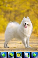 Screenshot of Dog wallpaper,Samoyed