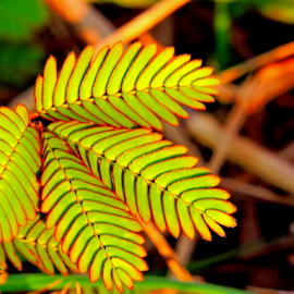 Mimosa by Yusop Sulaiman - Nature Up Close Leaves & Grasses