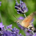 Hummingbird Hawk-Moth; Esfinge Colibrí