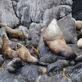 Sea Lions in Resurrection Bay, Alaska. by Laura Lowrey - Animals Sea Creatures