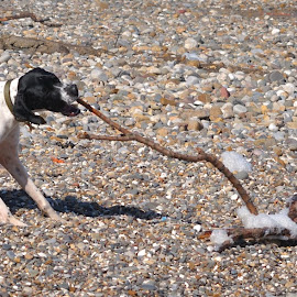 Dog with a stick by Mark Butterworth - Animals - Dogs Playing