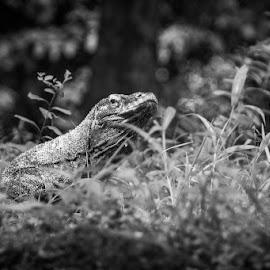 The Dragon by Rino Gautama - Animals Reptiles