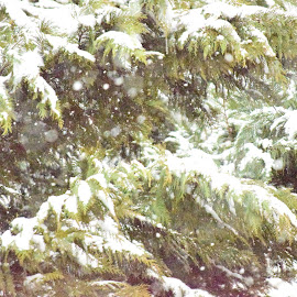 Snowy Wednesday by Cyndi Jones - Landscapes Forests ( nature, tree, green, outdoors, snow, cedar, specks )