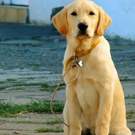Lovely gaze by LoRe ARG Mirando Vidrieras Virtuales - Animals - Dogs Portraits ( love, labrador retriever, looking, look, patagonia, gaze, lovely, labrador, dog,  )