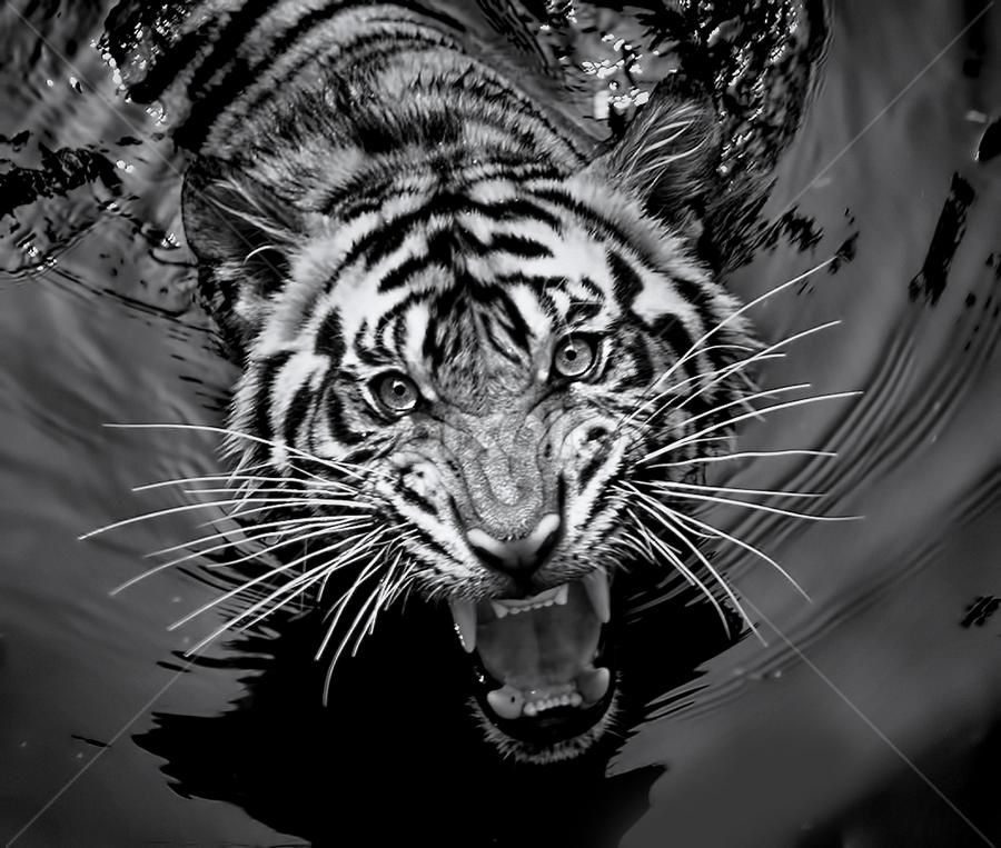 by Robert Cinega - Black & White Animals ( tiger carnivora bw, black and white, animal )