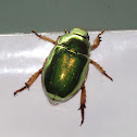 Green Christmas Beetle