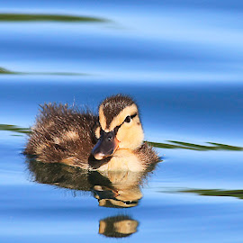 by Lee Jorgensen - Animals Birds ( bird, reflection, duckling, duck, animal,  )