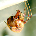 Common House Spider (Orange)