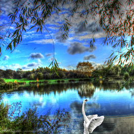 Blue lagoon  by Catherine Davies - Landscapes Waterscapes ( clouds, water, bird, sky, blue, trees, swan, pond )