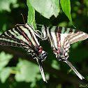 Zebra Swallowtail, mating pair