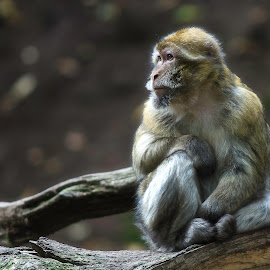 Portrait of a Barbary macaque  by Steve Dormer - Animals Other Mammals