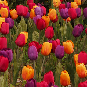 Tulips @ WoTW by Edwin Pfim - Flowers Flower Gardens ( , renewal, green, trees, forests, nature, natural, scenic, relaxing, meditation, the mood factory, mood, emotions, jade, revive, inspirational, earthly )
