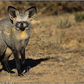 Bat Fox by Rick Venter - Animals Other Mammals