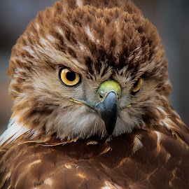 Stare Down by Ron Meyers - Animals Birds