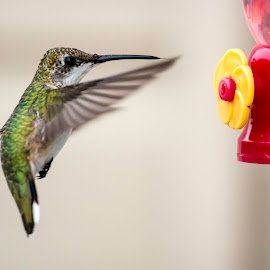 In for a Landing by Shawn Klawitter - Animals Birds ( bird, nature, colorful, hummingbird, feeder,  )