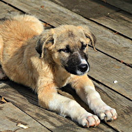 Patient Puppy by Tamsin Carlisle - Animals - Dogs Puppies ( lying, wood, waiting, puppy, board, dog, boardwalk,  )
