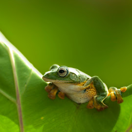 frog on a leaf by Arief Setiawan - Animals Amphibians ( famous, animal )