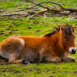 Fluffy horse! by Lyndsay Hepburn - Animals Horses ( brown fluffy smiling horse, brown horse, sitting brown fluffy horse in paddock, brown fluffy horse, sitting horse in paddock )