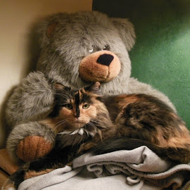 by Marijo Phelps - Animals - Cats Portraits ( bear and kitty, long haired calico, fozzy bear (big teddy), cozy cuddler, friend's lap )