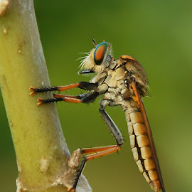 RF by Andang Sugiarto - Animals Insects & Spiders ( macro, nature, robberfly )
