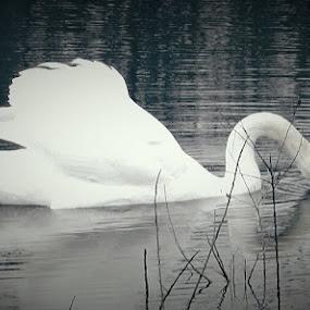Tender Beauty by Nat Bolfan-Stosic - Animals Birds ( tender, white, swan, lake, beauty )