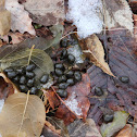 White-tail Deer (scat)