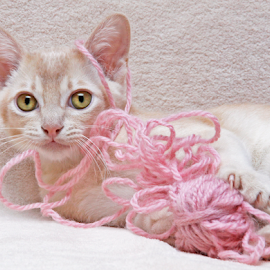 Playful kitten by Mia Ikonen - Animals - Cats Kittens ( playing, finland, fun, ball of yarn, burmese )