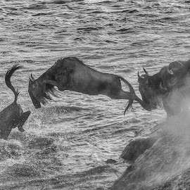 Jump into the water by Rolf Crisovan - Animals Other Mammals ( wildebeest, mara, safari, wildlife, tanzania, river )
