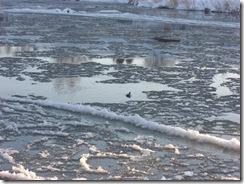 ice and moorhen on tweed
