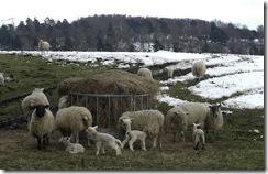 shiplaw lambs